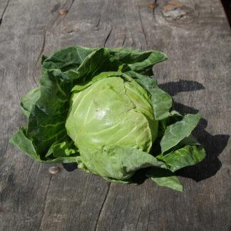 Cabbage (Primo)